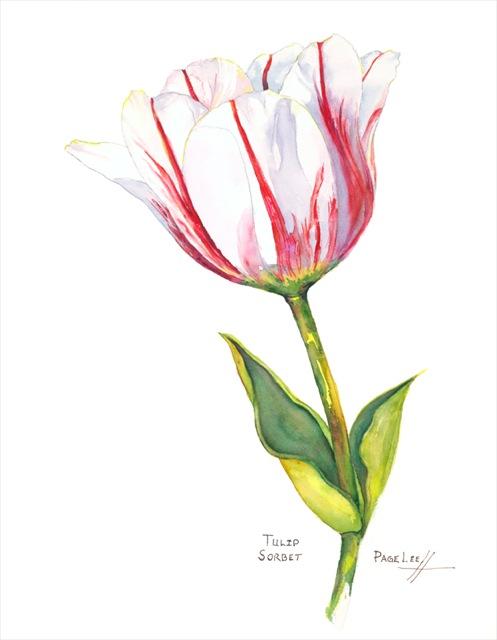 sorbet_tulip